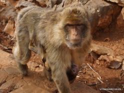 Neapoli. Amazonas Park. Barbary macaque (Macaca sylvanus) (2)