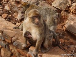 Neapoli. Amazonas Park. Barbary macaque (Macaca sylvanus) (3)
