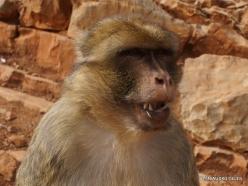Neapoli. Amazonas Park. Barbary macaque (Macaca sylvanus) (4)