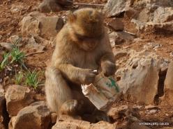 Neapoli. Amazonas Park. Barbary macaque (Macaca sylvanus)