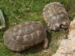 Neapoli. Amazonas Park. Eastern Hermann's tortoise (Testudo hermanni (2)