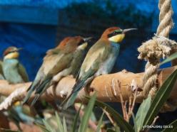 Neapoli. Amazonas Park. European bee-eater (Merops apiaster)