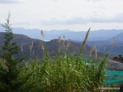 Neapoli. Amazonas Park. Giant cane (Arundo donax) (2)