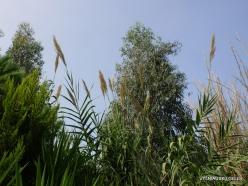 Neapoli. Amazonas Park. Giant cane (Arundo donax)