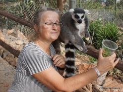 Neapoli. Amazonas Park. Ring-tailed lemur (Lemur catta) (4)