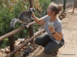 Neapoli. Amazonas Park. Ring-tailed lemur (Lemur catta) (5)