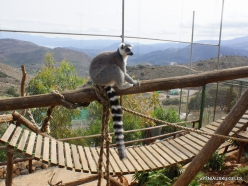 Neapoli. Amazonas Park. Ring-tailed lemur (Lemur catta) (8)