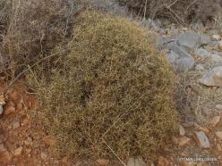 Near Fourni. Greek spiny spurge (Euphorbia acanthothamnos) (2)