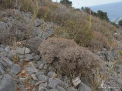 Near Fourni. Greek spiny spurge (Euphorbia acanthothamnos) (3)