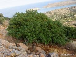 Near Fourni. Lentisk (Pistacia lentiscus)