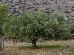 Near Fourni. Olive tree (Olea europaea)