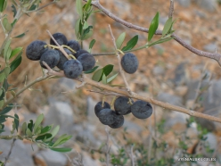 Near Fourni. Wild olive tree (Olea europaea var.sylvestris) fruits-001