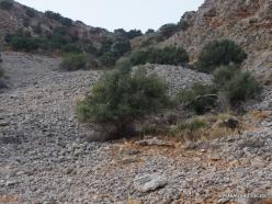 Near Fourni. Wild olive trees (Olea europaea var.sylvestris)
