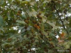 Richti Gorge. Cretan plane tree (Platanus orientalis var.cretica)
