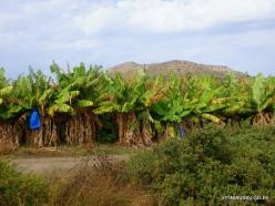 Toplou. Banana plantation