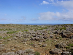 Toplou. Thymes (Thymus capitatus syn. Coridothymus capitatus)