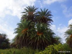 Vai Beach. Cretan Date Palm (Phoenix theophrasti) (10)