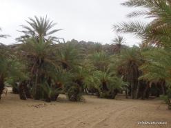 Vai Beach. Cretan Date Palm (Phoenix theophrasti) (13)