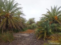 Vai Beach. Cretan Date Palm (Phoenix theophrasti) (14)