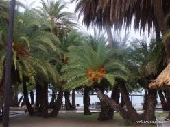 Vai Beach. Cretan Date Palm (Phoenix theophrasti) (3)