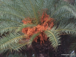 Vai Beach. Cretan Date Palm (Phoenix theophrasti) (4)