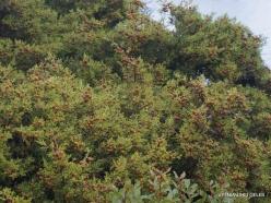 Vai Beach. Phoenicean Juniper (Juniperus phoenicea) (2)