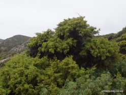 Vai Beach. Phoenicean Juniper (Juniperus phoenicea) (3)