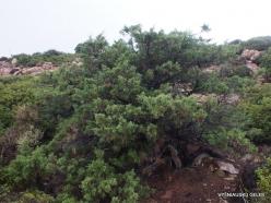 Vai Beach. Phoenicean Juniper (Juniperus phoenicea) (4)
