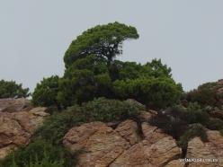 Vai Beach. Phoenicean Juniper (Juniperus phoenicea) (5)