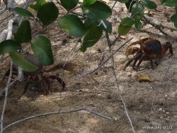 Seišeliai. Curieuse. Didysis mangrovių krabas (Cardisoma carnifex