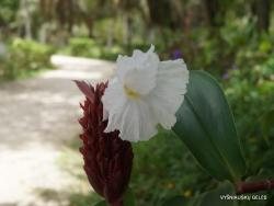 Seychelles. La Digue. Costus speciosus