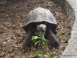 Seychelles. La Digue. L'Union Estade. Aldabra giant tortoise (Aldabrachelys gigantea)