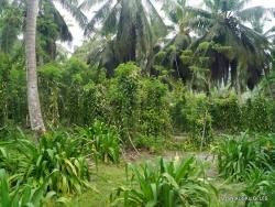 Seychelles. La Digue. L'Union Estade. Vanilla plantation (Vanilla planifolia) (2)
