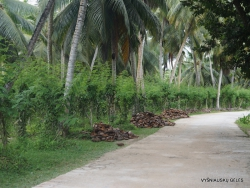 Seychelles. La Digue. L'Union Estade. Vanilla plantation (Vanilla planifolia) (3)