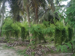 Seychelles. La Digue. L'Union Estade. Vanilla plantation (Vanilla planifolia)