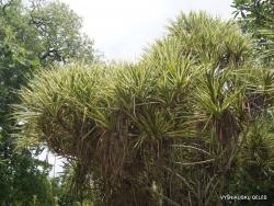 Seychelles. La Digue. Variegated pandanus (Pandanus tectorius)