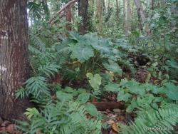 Seychelles. La Digue. Veuve Reserve. Alocasia macrorrhiza
