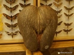 Mūsų parsivežtas Seišelinės lodoicės (Lodoicea maldivica) vaisius