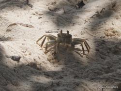 Seišeliai. Praslin. Anse La Blague. Krabas vaiduoklis (Ocypode ceratophthalma)