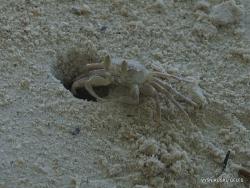 Seišeliai. Praslin. Anse Volbert. Krabas vaiduoklis (Ocypode ceratophthalma)
