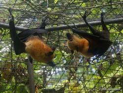 Seišeliai. Praslin. Cote d'Or. Seišelinės skraidančios lapės (Pteropus seychellensis)
