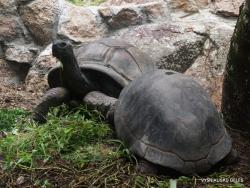 Seišeliai. Praslin. Fond Ferdinand. Aldabaros drambliniai vėžliai (Aldabrachelys gigantea)