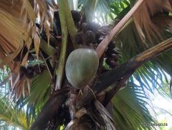Seišeliai. Praslin. Vallee de Mai. Seišelinė lodoicė (Lodoicea maldivica)
