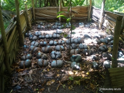 Seišeliai. Praslin. Fond Ferdinand. Seišelinės lodoicės (Lodoicea maldivica) daigynas