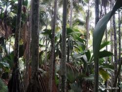 Seišeliai. Praslin. Valle de Mai
