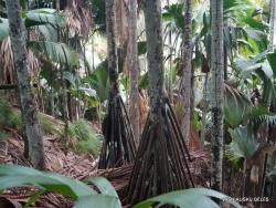 Seišeliai. Praslin. Vallee de Mai. Pandanas (Pandanus hornei)