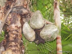 Seišeliai. Praslin. Vallee de Mai. Seišelinės lodoicės (Lodoicea maldivica) vaisiai