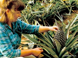 Hua Hin. Ananasas (Ananas comosus)