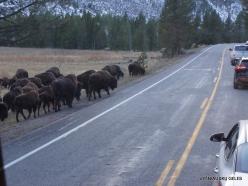 Jeloustono nacionalinis parkas. Hayden Valley. Amerikinis bizonas (Bison bison) (2)