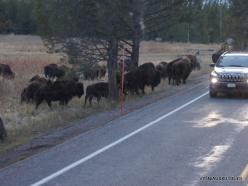 Jeloustono nacionalinis parkas. Hayden Valley. Amerikinis bizonas (Bison bison) (3)